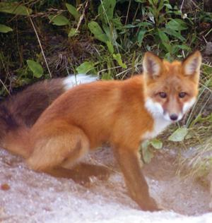 Fox with bushy tail