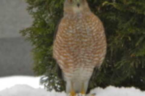 GSC winter Owl