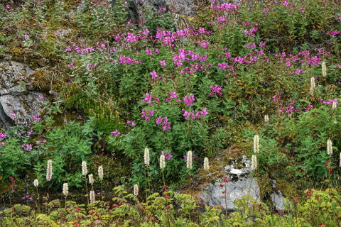 Fireweed and other plants in Valdez, Alaska