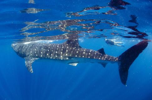 Whale Shark Cancun Adventures