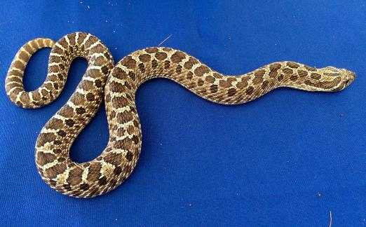 Bruce the Western Hognose Snake from Wildlife Haven Rehabilitation Centre.
