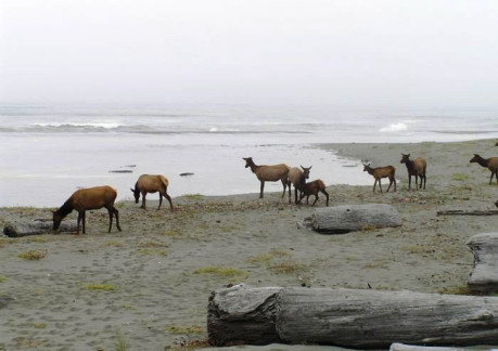 3640P3Roosevelt Elk along at Gold Bluffs Beach.jpg