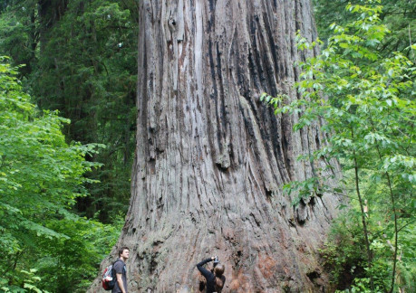 Big Tree in Redwood National Park