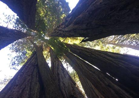 twisting redwood tops