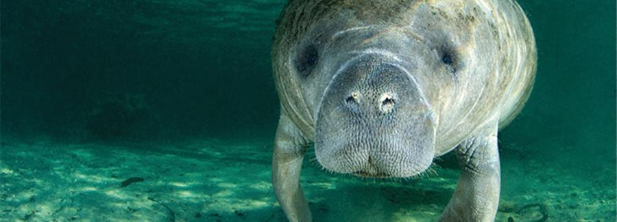 A manatee gently floats in the pristine and clear Blue Spring State Park