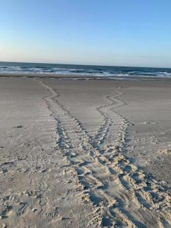 Sea turtle tracks in the sand, Myrtle Beach, SC