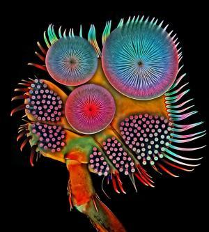 Igor Siwanowicz male diving beetle