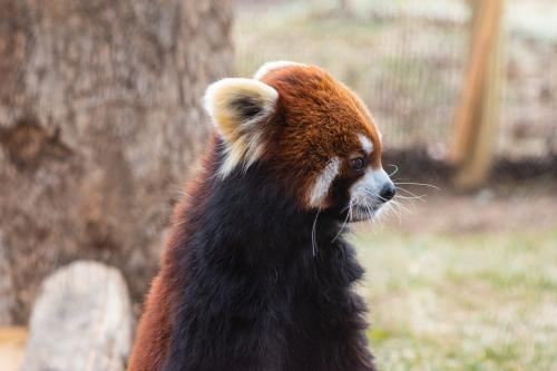 Red Panda at WNC Nature Center