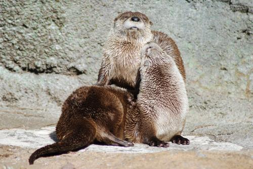 Otters snuggle up to one another at Grandfather Mountain Nature Preserve