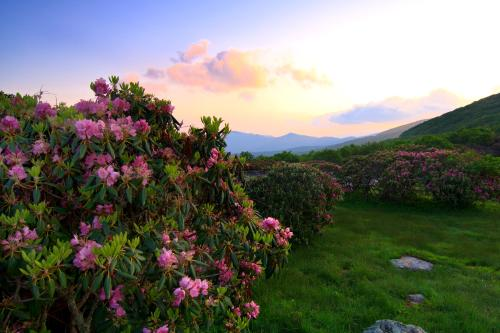 Rhododendron in bloom at Craggy Gardens near Asheville