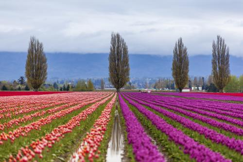 rows of colorful tulips at Skagit Valley Tulip Festival