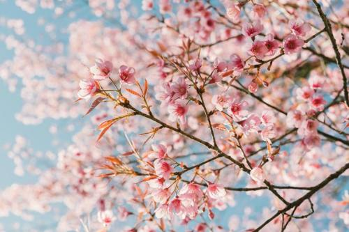 Cherry Blossoms University of Washington