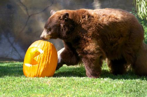 Bears and Pumpkins. Pumpkins and Bears. The Halloween Zoo-tacular is sure to please.