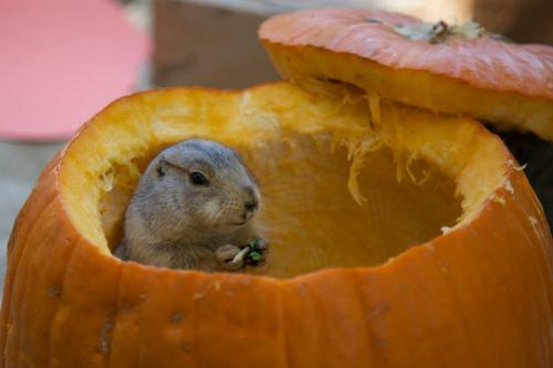 A prairie dog feasts on a pumpkin from within the pumpkin itself at Irvine Regional Park's Halloween Zoo-tacular.