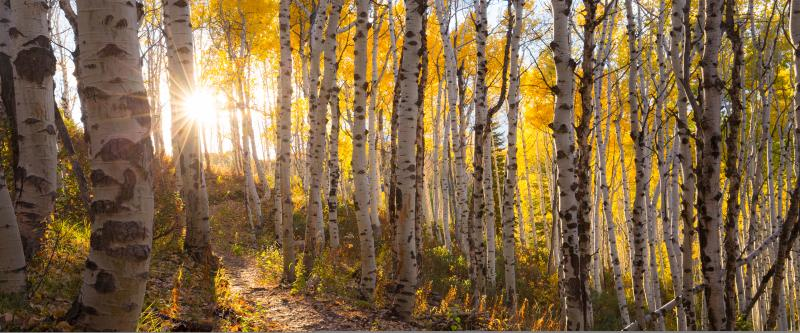 Backpack through glowing golden aspen leaves