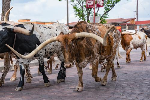 An image of Texas Longhorn cattle at the Fort Worth Stockyards.