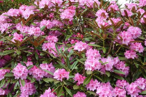 Pink Rhododendrons at the Botanical Garden in Federal Way
