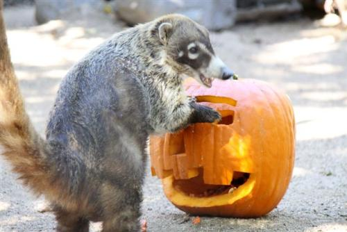 Animals at the Orange County Zoo's Halloween Zoo-tacular love pumpkin treats.
