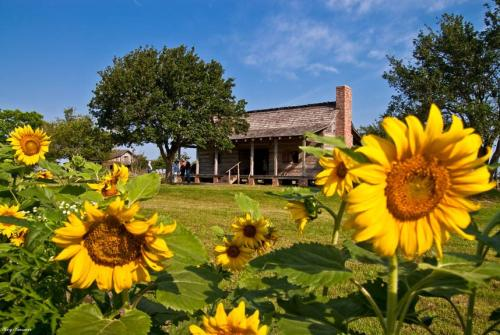 Sunflowers at Jones Stock Farm - George Ranch Historical Park
