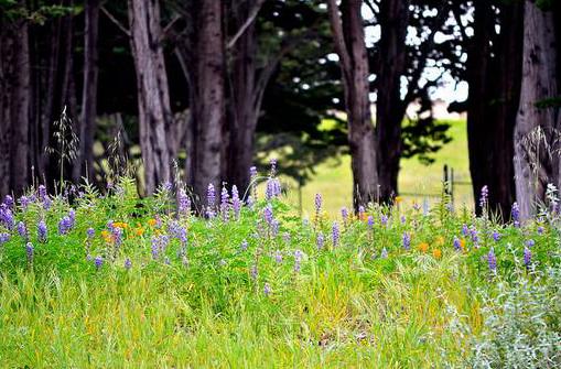 Lupine in Monterey