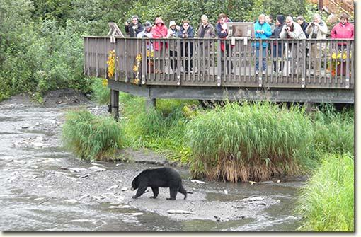 people watch a bear eat salmon at Crooked Creek
