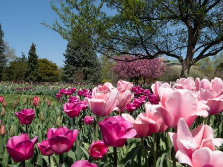 hershey-gardens-tulips-spring