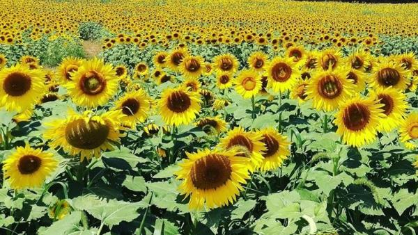 Sunflowers in bloom at Burnside Farms