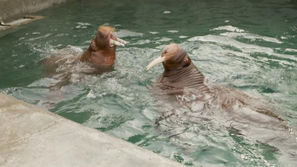 Orphaned walruses at Point Defiance Zoo and Aquarium in Tacoma