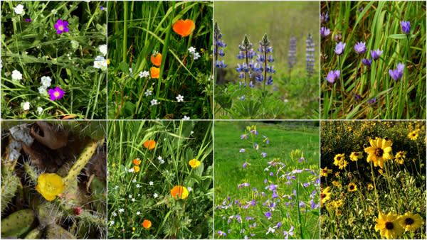 Close-ups of California wild flowers