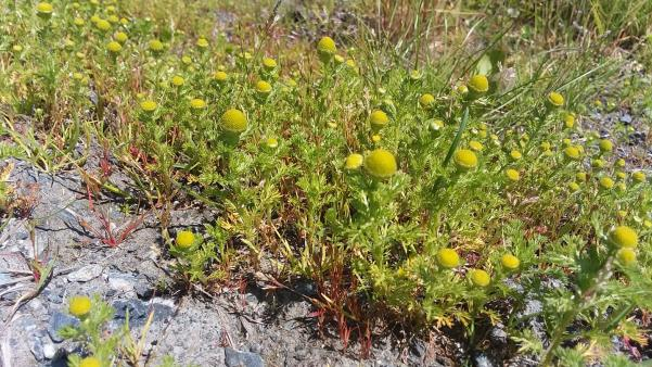 pineapple weed growing on a gravel path