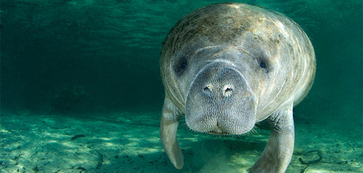 An underwater view of a manatee at Blue Spring State Park