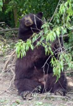 Taz is a North American Black Bear