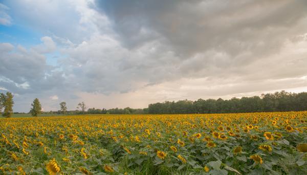 Sunflowers Maze at Strawberry Fields Hydroponic Farm