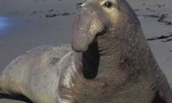 Elephant_Seals_main80.jpg
