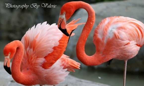 Flamingo 1 Valerie McGill.jpg