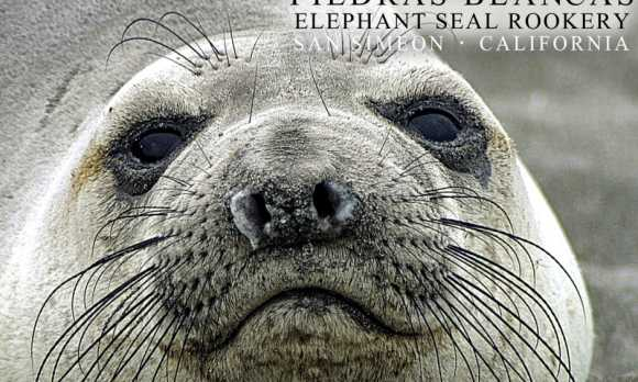 Pidras Blancas Elephant Seal Rookery - Face (2).jpg