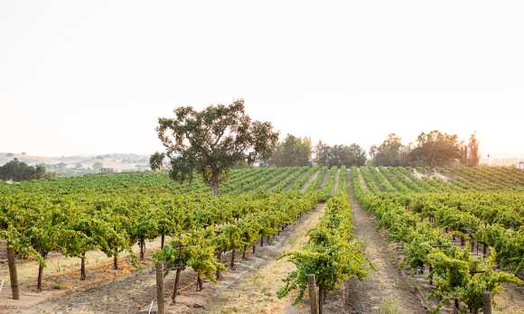 Robert Hall's Bench Vineyard