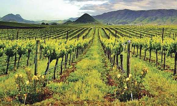 Edna Valley Spring Vineyard