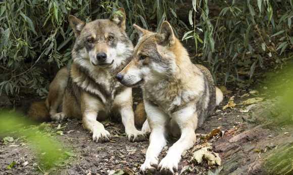 Meet the Wolves