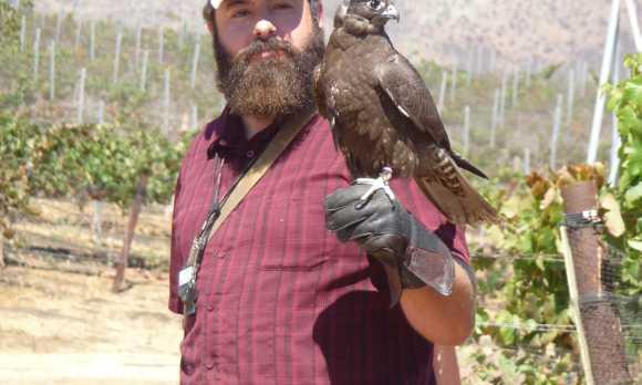 Natural bird abatement - the falcon at work
