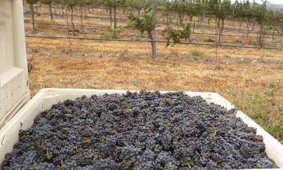Pinot Noir Harvest 2018