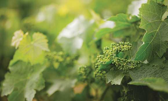 Vines in our Regenerative Vineyard Project