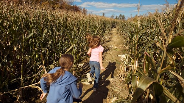Children walking through the Becker Farms corn maze