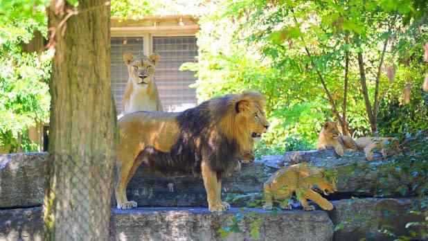 Buffalo Zoo - Lions