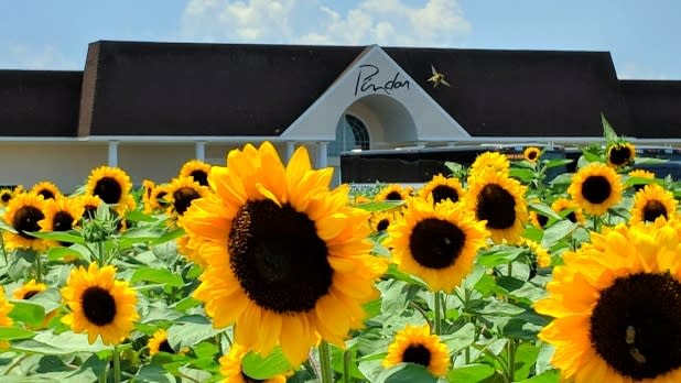 Sunflower field at Pindar Vineyards