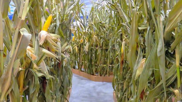 ILNY Experience Corn maze