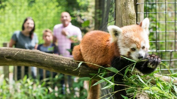 Red panda on a branch at Trevor Zoo