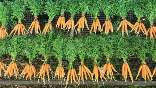 Carrots in bunches at Rock Steady Farm & Flowers