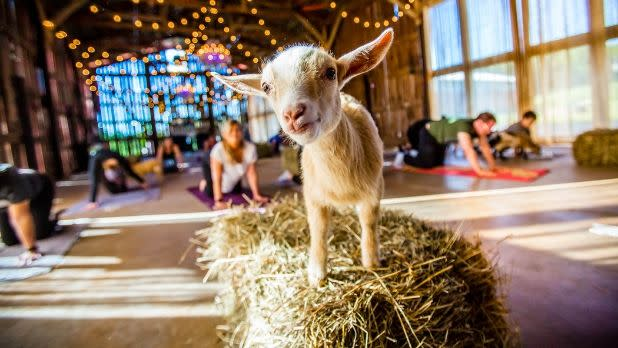 A goat on a stack of hay during a yoga class at Gilbertsville Farmhouse