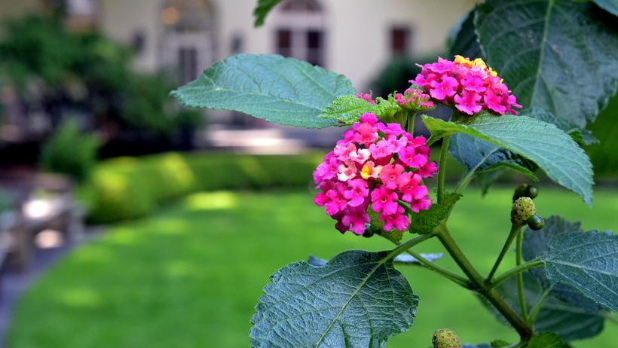 Lantana Camara in the Fragrance Garden the Brooklyn Botanic Garden